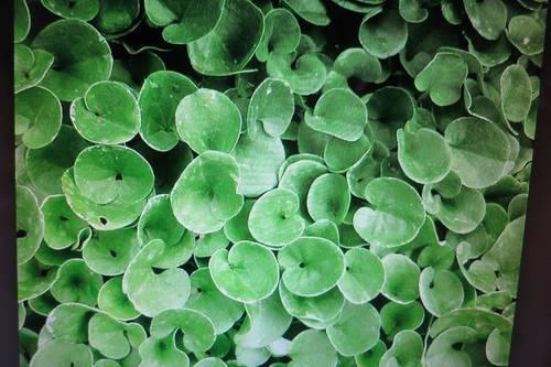 2268a: dichondra repens (graines) mpc6