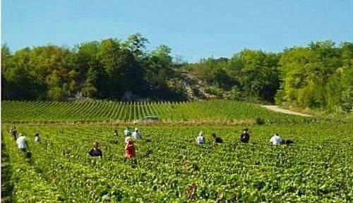 Recrute H/F Vendangeurs en Bourgogne à partir du jeudi 23septembre