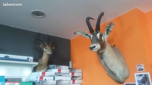 6tetes de koba, daim, impala