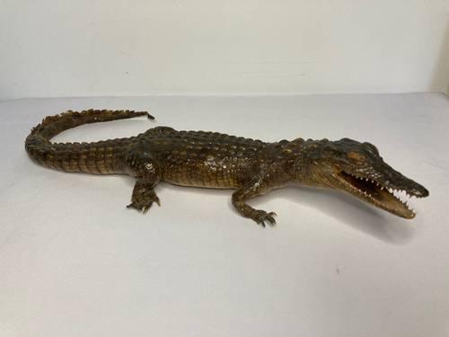 Petit caïman crocodile naturalisé Guyane vers 1950