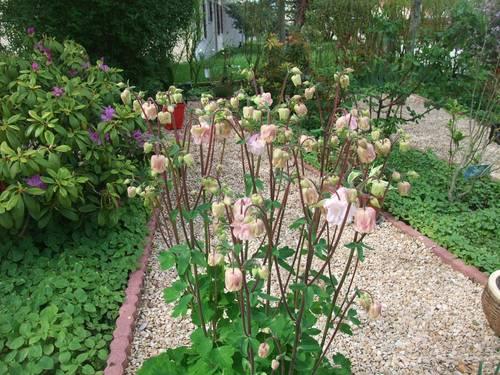 Ancolies double rose pâle graines
