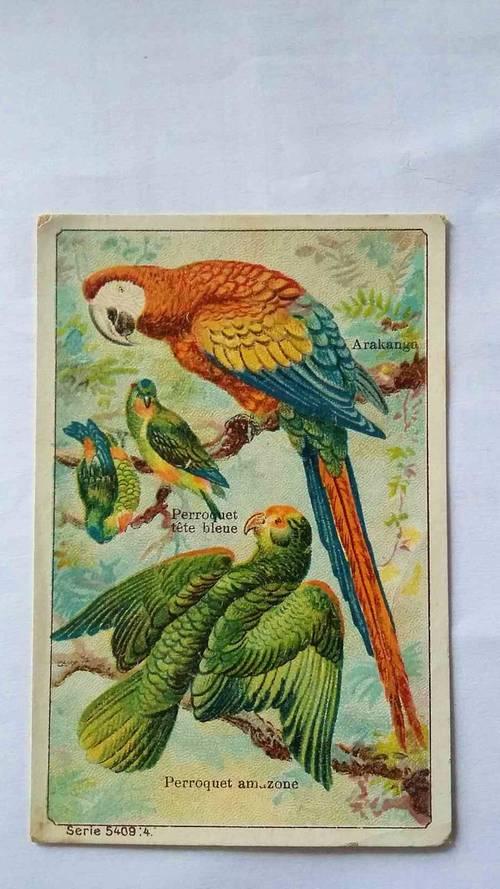 Chromos chicorée Émile Bonzel, les perroquets arakanga