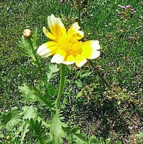 Chrysanthème comestible graines