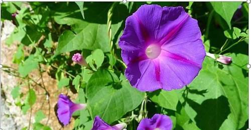 Vends graines d'Ipomée purpurea