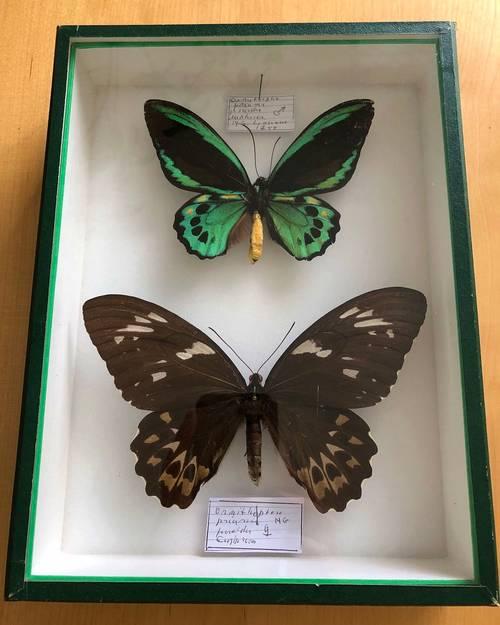 Papillons naturalisés - entomologie