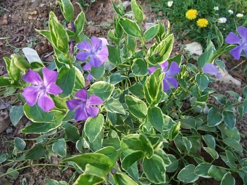 Pervenche Vinca Major plante