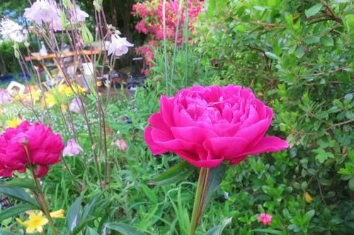791: pivoine rose mpc6