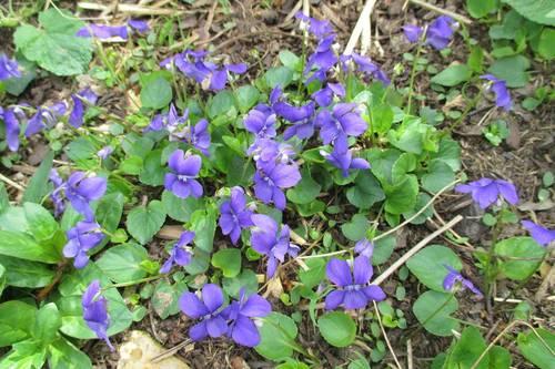 Violette plante